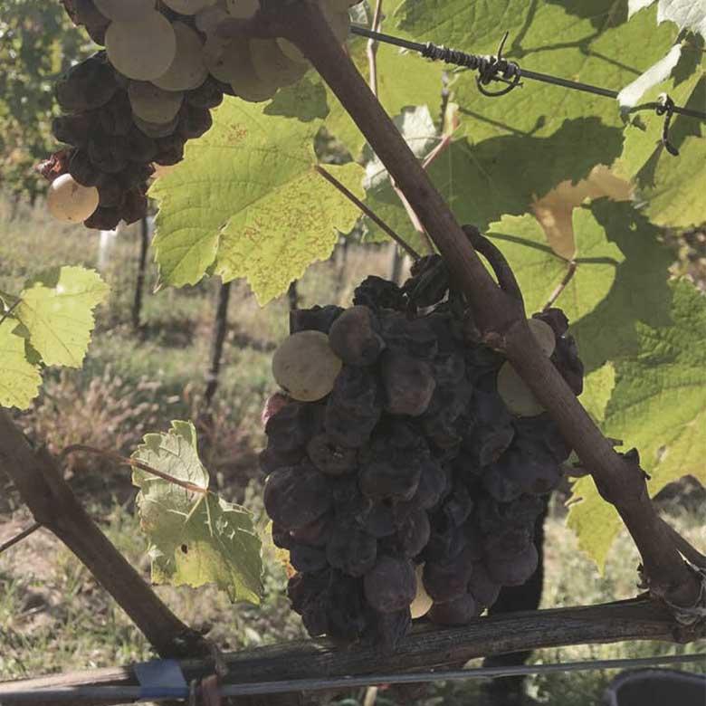 botritys-furmint-heidi-schroeck-sweet-wines-austria