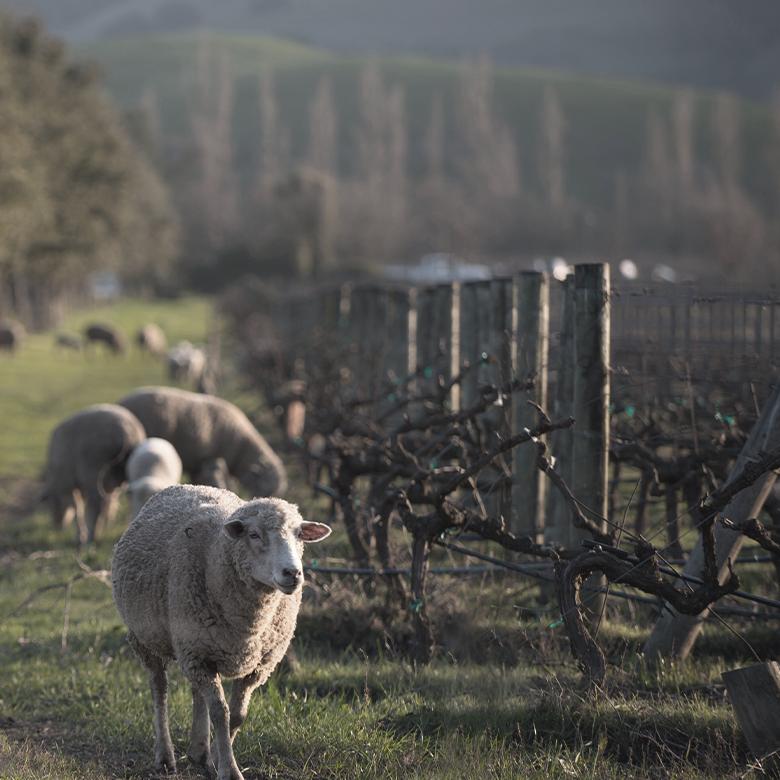 corison-vinyard-napa-valley-cabernet-sauvignon-sustainable-wines