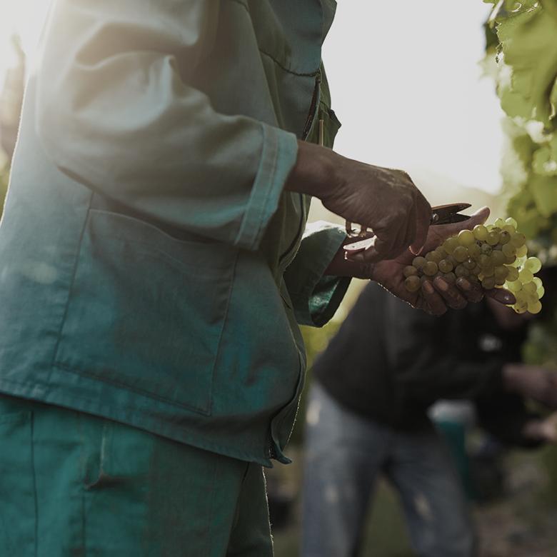 harvest-manual-vines-toscana-wine