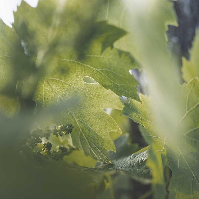 nik-weis-nursery-moselle-riesling-wine-germany