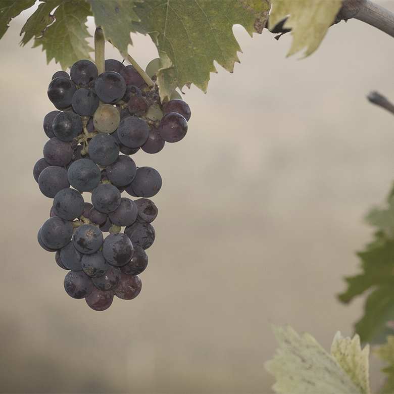 sangiovese-daviddi-aldimaro-wine-italy-grape-variety