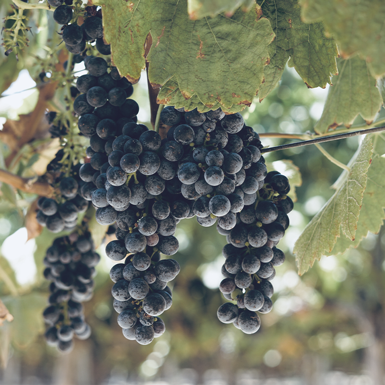zinfandel-grape-varity-brazin-lody-valley-san-francisco-delicato-california-wines